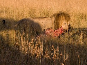 lionwithkill